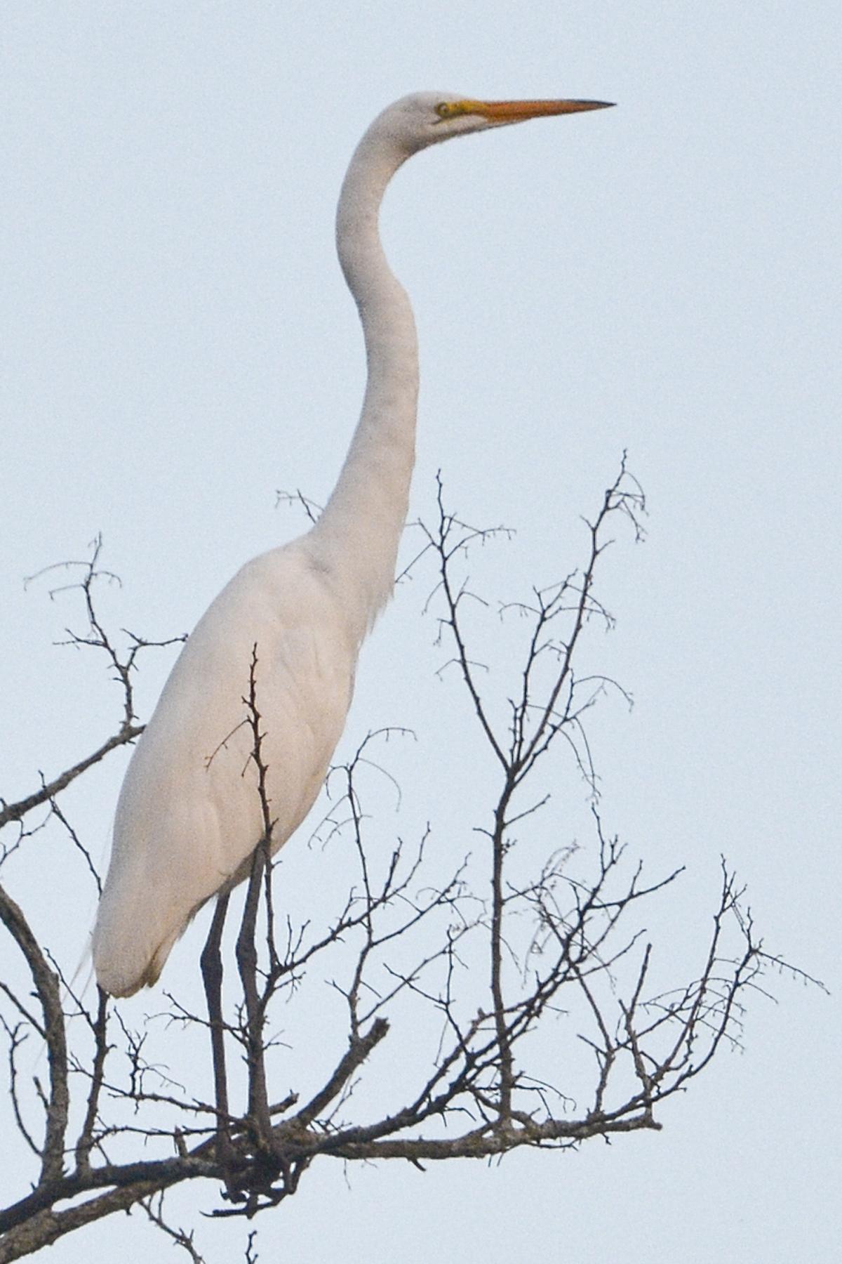 #3 _DSC8978 4x6 Egret in a tree