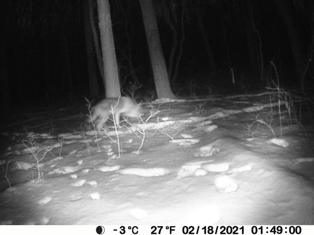 "Judging by size, long legs, and profile, as well as the time stamp of 1am—coyotes are nocturnal hunters— local naturalists confirm this image captures a coyote. CNC Trustee Tom Golodik writes, ""It would be telling to examine the tracks. Dogs wander all over the place when they walk; coyotes typically move in straight lines and place rear feet in front paw tracks. Because the coyote's heel pad is smaller than a dog's, coyote tracks show more open space between the two outside toes, whereas the dog's larger heel pads tends to intrude into the area between the outside toes."""